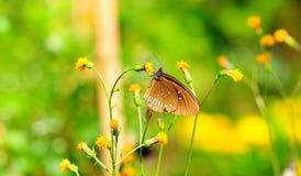 suga för fjärilsnectar Royaltyfri Fotografi