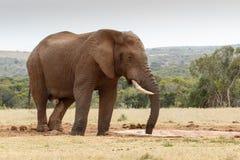 Sugande övre för Bush elefant den sista biten av vatten arkivbild