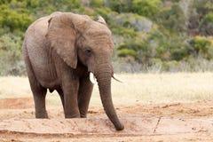 Sugande övre vattnet - afrikanBush elefant Royaltyfri Bild