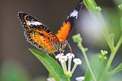 Sugande honung för härlig fjäril på en vit blomma Royaltyfri Bild