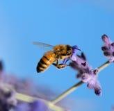 Sugande nektar för bi Arkivfoto