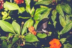 Sugande nektar för fjäril av blommor arkivbild