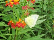 Sugande nektar för fjäril av den härliga Chrysothemis pulchellaen Royaltyfri Foto