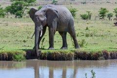 Sugande vatten för afrikansk elefant från ström Royaltyfria Bilder