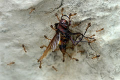 Sugar ants carrying dead wasp. Ants- Sugar ants- Pharaoh ants-  Scientific name is Monomorium pharanois -carrying dead wasp to its nest crevice on a wall- social Stock Photography