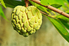Sugar apple Stock Photo