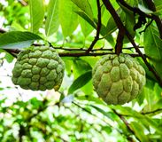 Sugar apple, Annona squamosa Linn. fruite and herb Royalty Free Stock Photos