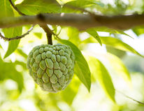 Sugar apple or anon fruit hanging on tree. Sugar apple or anon hanging on a tree in a tropical country royalty free stock image
