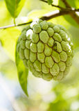 Sugar apple or Anon hanging on a tree. On a tropical country stock photos