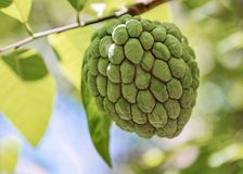 Sugar apple or Anon Hanging on Tree. In a tropical country during summer stock photography