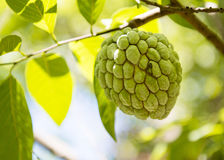 Sugar apple or Anon Hanging on Tree. In a tropical country during summer royalty free stock photography