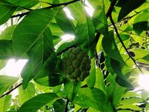 Sugar apple, Custard apple, Sweetsop or Annona squamosa Linn. The fruit is white to sweet with black seeds Stock Photography