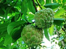 Sugar apple, Custard apple, Sweetsop or Annona squamosa Linn. The fruit is white to sweet with black seeds Royalty Free Stock Photo