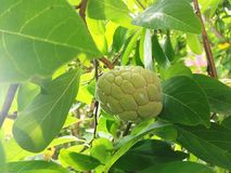Sugar apple, Custard apple, Sweetsop or Annona squamosa Linn. The fruit is white to sweet with black seeds Royalty Free Stock Images