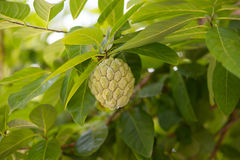 Sugar-apple fruit Annona squamosa. On a tree branch. The fruit is also known as sweetsop or custard apple Stock Photography