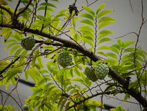Sugar-apple fruit Royalty Free Stock Photos