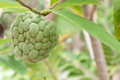 Sugar apple hanging from branch Stock Photo