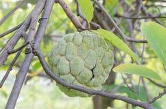 Sugar Apple oder Annone, die auf einem Baum wächst lizenzfreies stockbild