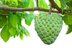 The sugar apple is on the tree Royalty Free Stock Photography