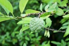 Sugar apple tree or Annona squamosa. Sugar apple tree or Custard Apple tree , Annona squamosa Royalty Free Stock Photo