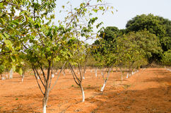Sugar Apple trees. Rows of sugar apple trees growing in the grounds of Rashtrapati Nilayam, the Presidential Palace in Secunderabad, Andhra Pradesh.  The trees Stock Photos