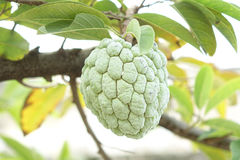 Sugar Apple (vaniljsåsäpple, Annona, sweetsop) Arkivbilder