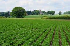 Sugar Beat & Churches, Shotesham, Norfolk, England in June. Stock Photos