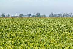 Sugar beats field in Friesland, Netherlands Stock Image