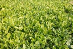 Sugar beats field in Friesland, Netherlands Royalty Free Stock Photo