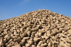 Sugar beats. Heap of freshly havested sugar beets royalty free stock photography