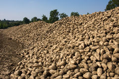 Sugar beats. Heap of freshly havested sugar beets royalty free stock image
