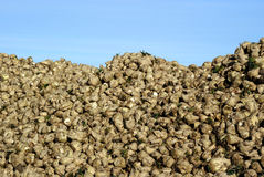 Sugar Beet royalty free stock image