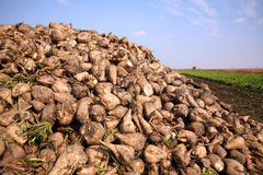 Sugar beet. Pile at the field after harvest stock image
