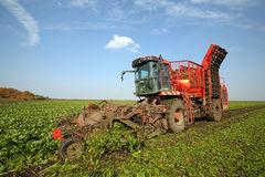 Sugar beet. Harvester is harvesting sugar beet at the field stock photography