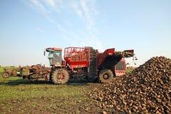 Sugar beet Stock Image
