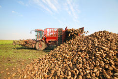 Sugar beet Stock Image