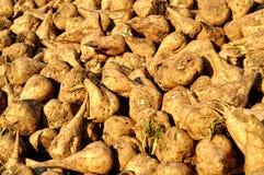 Sugar beet Royalty Free Stock Photography