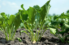 Sugar beet. A young sugar beet in the ground Stock Image