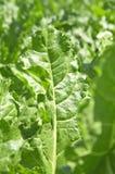Sugar beet Stock Photos