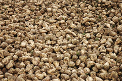 Sugar beet. In storage royalty free stock images