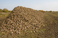 Sugar beet. The big heap of a sugar beet on the brink of a field. Harvesting Royalty Free Stock Photo