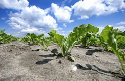 Sugar beet Stock Photos