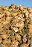 Sugar Beet Against Blue Sky. Pile of Organic Sugar Beet at the Field. Sugar Beet Against Blue Sky. Pile of Organic Sugar Beet at the Field After Harvest Royalty Free Stock Photography