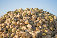 Sugar Beet Against Blue Sky. Pile of Sugar Beet at the Field After Harvest. Sugar Beet Against Blue Sky. Pile of Organic Sugar Beet at the Field After Harvest Stock Images