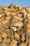 Sugar Beet Against Blue Sky Stapel der organischen Zuckerrübe am Feld Lizenzfreie Stockfotografie