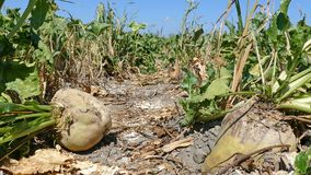 Sugar beet on agricultural field Royalty Free Stock Photos