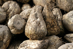 Sugar beet Royalty Free Stock Photography