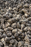 Sugar beet Stock Photography
