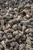 Sugar beet stock photography