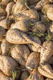 Sugar Beet Background Hög av sockerbetan Arkivbild